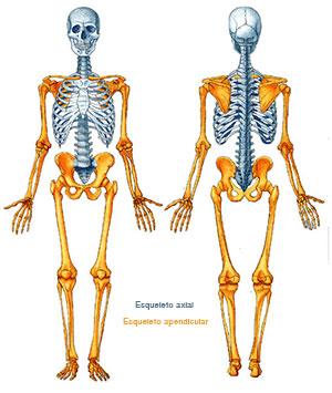esqueleto2